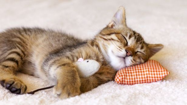 sleeping-kitten-jpg-653x0_q80_crop-smart