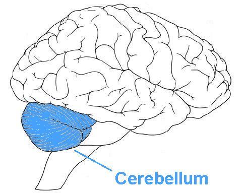 1449918798_brainlateral_cerabelum