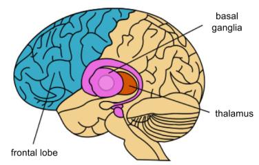 basal-ganglia-anatomy-1
