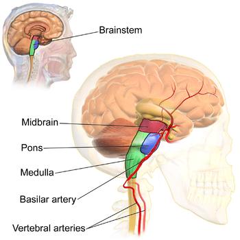 blausen_0114_brainstemanatomy