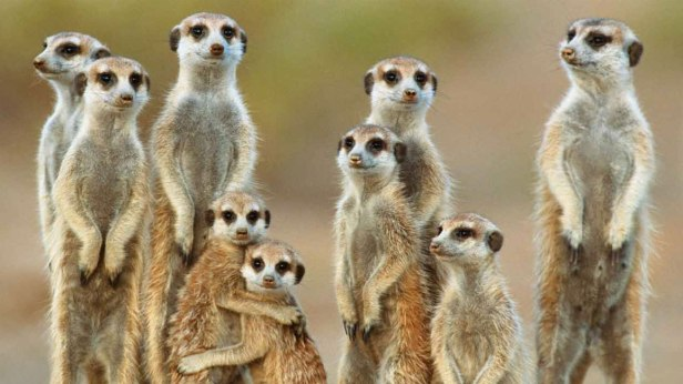 Featured_meerkats-1